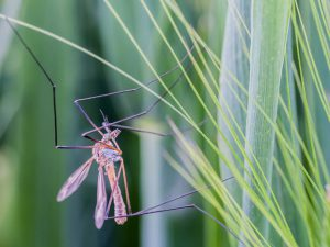 Mosquitos can be carriers of diseases such as West Nile Virus.
